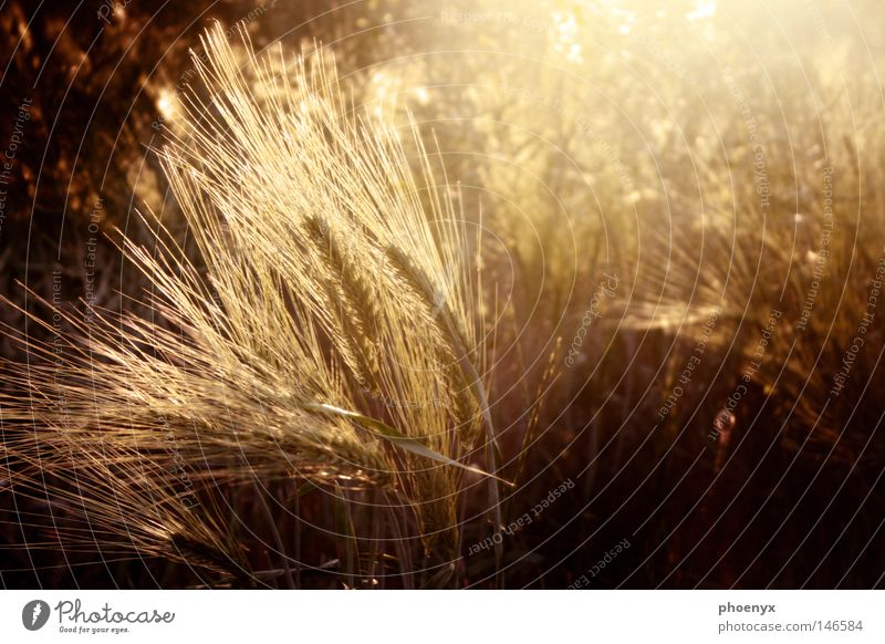 gold rush Ear of corn Grain Autumn Gold Physics Sunset Back-light Illuminating Light track Lens flare Free Safety (feeling of) Lighting Gale Wind