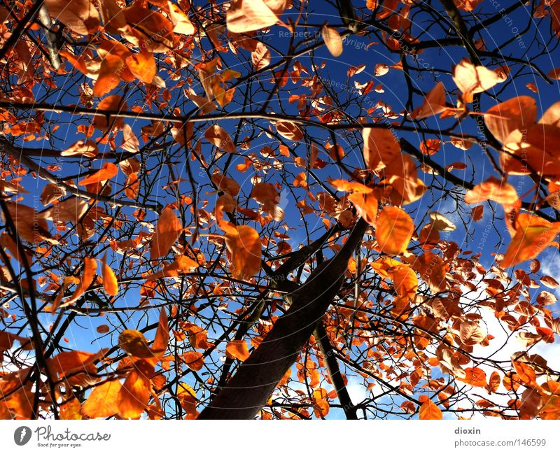Sky Tree Blue Leaf Clouds Colour Autumn Brown Weather Gold Perspective Transience Seasons Upward Tree trunk Branchage