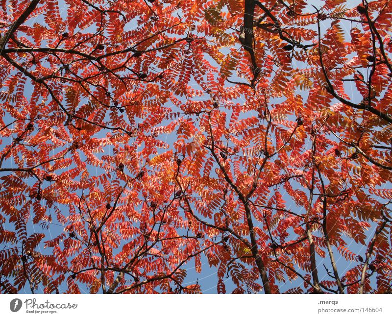 Blushed Red Round Oval Leaf Tree Limp Autumn Plant Branchage Colouring Transience Blue Twig Nature Sky leaf blanket