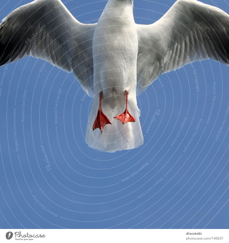 Sky Blue White Summer Red Animal Gray Air Feet Bird Flying Elegant Feather Wing Seagull Cloudless sky