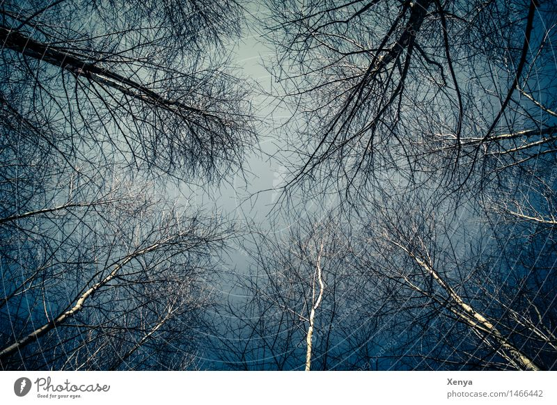 Bleak forest - treetops Environment Nature Sky Winter Plant Forest wood Blue Black White Mirkwood Sparse Twigs and branches Mystic Exterior shot Deserted Day