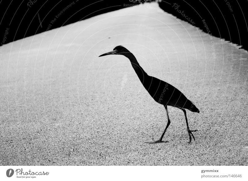 White Black Street Dark Gray Lanes & trails Bird Walking Dangerous Threat Concentrate Animal Focus on