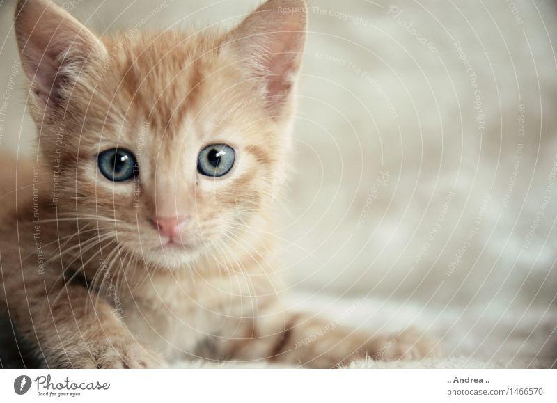 Cat Red Animal Orange Dream Contentment Sit Observe Friendliness Pet Tiger skin pattern Tabby cat
