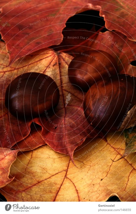 autumn Environment Nature Plant Autumn Leaf Dark Brown Yellow Gold Red Black Colour Dried Shriveled Chestnut Orange Vessel Seasons Still Life Unicoloured