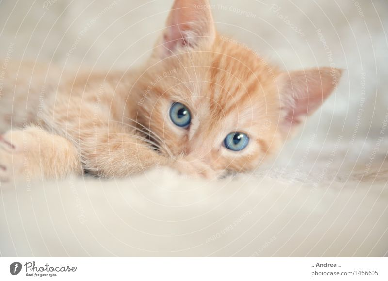 Cat Relaxation Red Animal Contentment Lie Sleep Pet Animal face Love of animals Tiger skin pattern