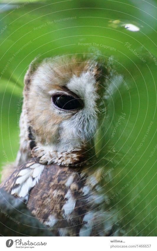 Green White Brown Observe Hide Plumed Owl birds Strix Owl eyes