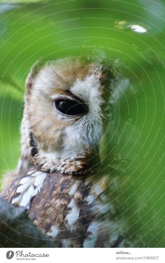 Tawny owl peeping out from behind leaves Strix Owl birds Owl eyes Wood Owl Observe Looking Brown Green White Hide Looking into the camera Plumed Colour photo