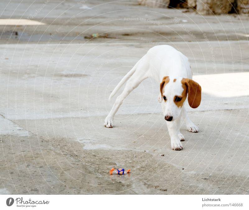 White Joy Animal Emotions Movement Dog Brown Dangerous Stand Pelt Fragrance Sidewalk Traffic infrastructure Panic Paw Pet