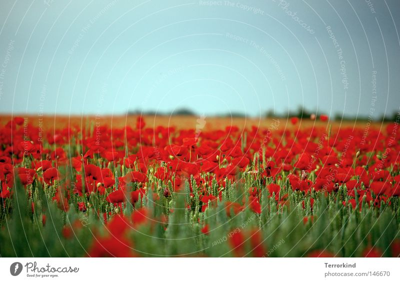 That's.breathing. Poppy Field Poppy field Blossom Summer Fragrance Flower meadow Hot Past Infatuation Grown Muddled Dream Gorgeous Nature Plant Verdant Clouds