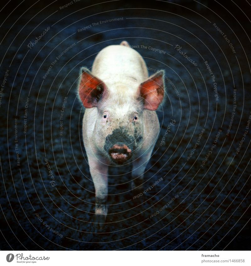 organic pig Field Animal Farm animal Swine 1 Feeding Authentic Dirty Small Sustainability Natural Curiosity Cute Blue Green Pink Happy Love of animals Peaceful
