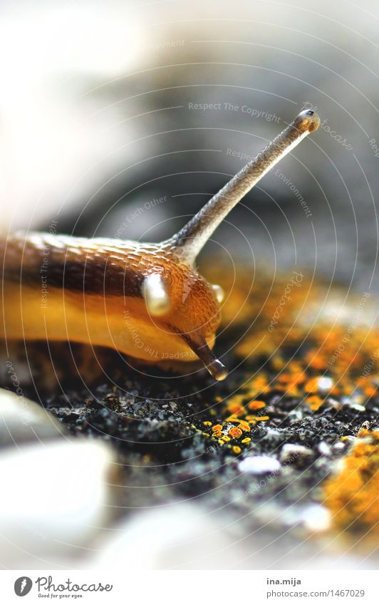 in slow motion Environment Nature Animal Spring Summer Autumn Wild animal Snail 1 Near Slowly Slimy Eyes Snail slime Yellow Looking Observe Small Diminutive