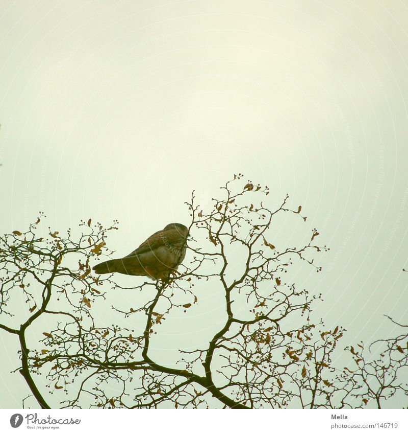 falcon autumn Environment Nature Plant Animal Twigs and branches Bird Falcon Kestrel 1 Crouch Sit Free Tall Natural Above Gray Perspective Treetop Vantage point