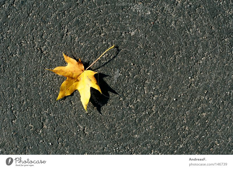 Street Autumn Stone Asphalt Sidewalk Traffic infrastructure Canada Pavement Individual Autumn leaves October Maple tree Patch of colour Autumnal Pore