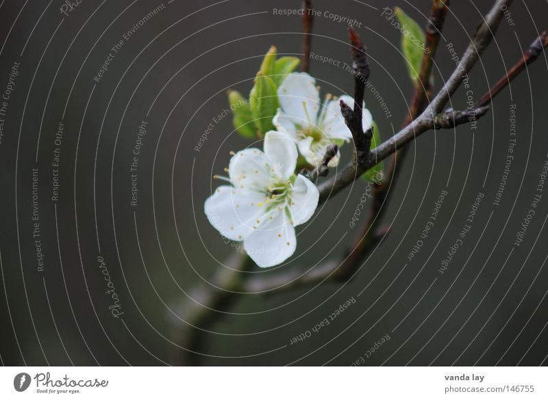 Nature Plant Green White Flower Life Spring Blossom 2 Fruit In pairs Blossoming Near Delicate Stick Branchage