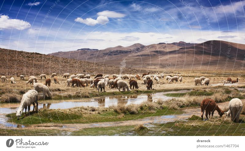 alpacas Nature Landscape Animal Sky Clouds Beautiful weather Grass Mountain Eating Together Adventure Andes To feed Brown Blue sky Colour photo Exterior shot