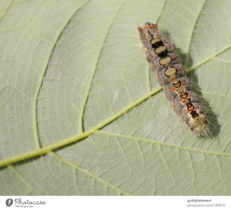 Where's the food? Caterpillar Butterfly Larva Leaf Maple leaf Cocoon Nature Living thing Animal Evolution Environmental protection Life Development Summer