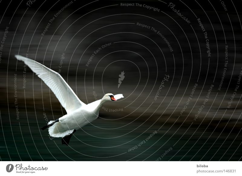 Swan 100 lands Poultry Feather Neck Long Soft Esthetic Graceful Flamingo Auks Gull birds Duck birds Flying Elegant Wing Black White Bird Water White crest