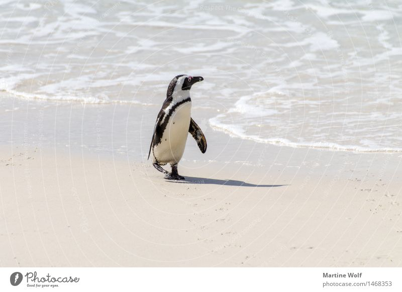 shore leave Waves Coast Beach Ocean Indian Ocean Animal Wild animal 1 Loneliness Nature Curiosity Optimism African Penguin Web-footed birds Jackass Penguin