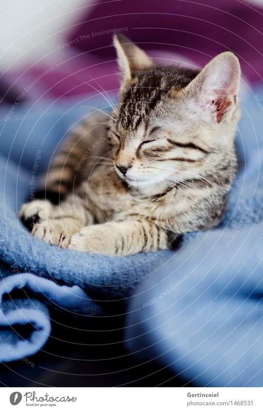 Cat Relaxation Calm Animal Baby animal Sleep Pelt Pet Animal face Cozy Paw Cuddly Kitten Tiger skin pattern Tabby cat