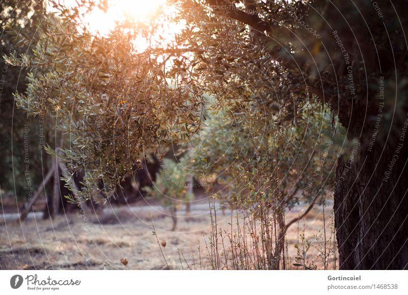 Nature Plant Summer Tree Landscape Warmth Garden Agricultural crop Turkey Olive Olive tree Olive grove Olive leaf the Aegean