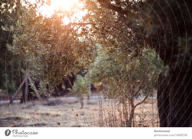 Olea europaea Nature Landscape Plant Sunrise Sunset Summer Tree Agricultural crop Garden Warmth Olive tree Olive grove Olive leaf Turkey the Aegean foca foça