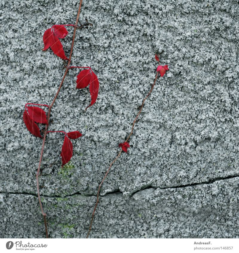 Plant Red Autumn Wall (building) Wall (barrier) Concrete Facade Vine Climbing Wild Derelict Ruin Crack & Rip & Tear Plaster Converse Tendril