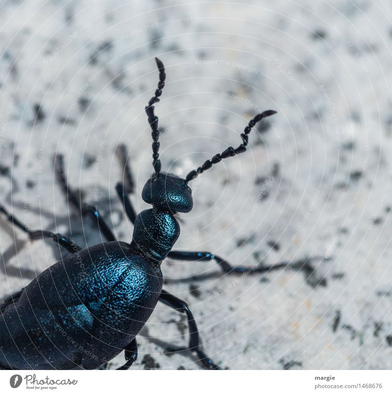 Beetle Karl Animal 1 Crawl Blue Turquoise White Attentive Curiosity Interest Adventure Exotic Search Feeler Shell-bearing mollusk Leg of a beetle Insect