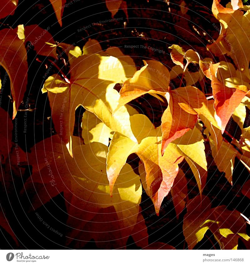 ray of hope Light Shadow Autumn Leaf Vine Virginia Creeper Yellow Red Sun Vine leaf Wall (building) Plant Multicoloured Russet Dark Bright Transience Autumnal