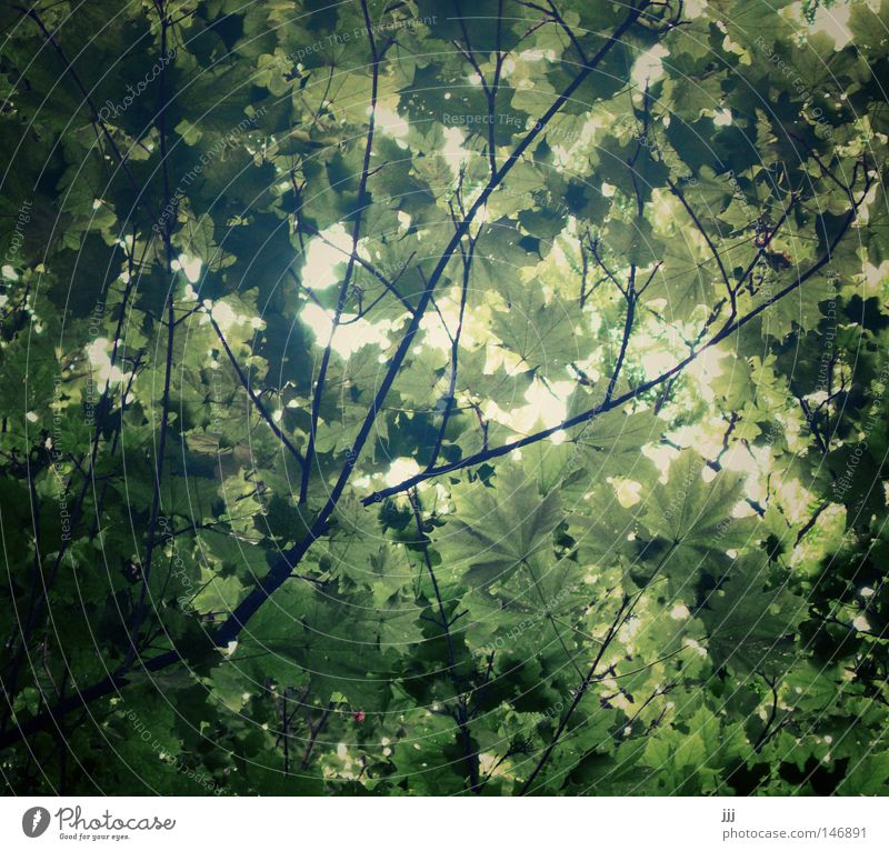 leaf canopy Leaf Rustling Ceiling Cover The Englischer Garten Beautiful Dream Leaf canopy Nature Park Green Maple tree Branchage Twigs and branches Tree Summer