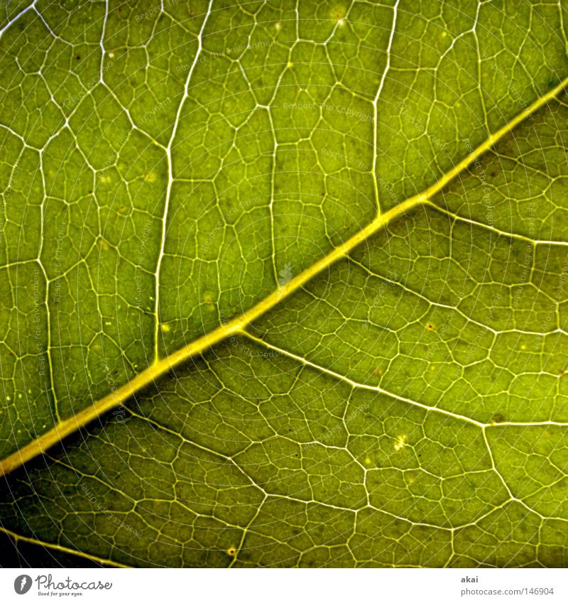 The sheet 32 Plant Lime tree Lime leaf Green Botany Part of the plant Creeper Verdant Environment Bushes Back-light Warped Leaf Background picture Tree Near