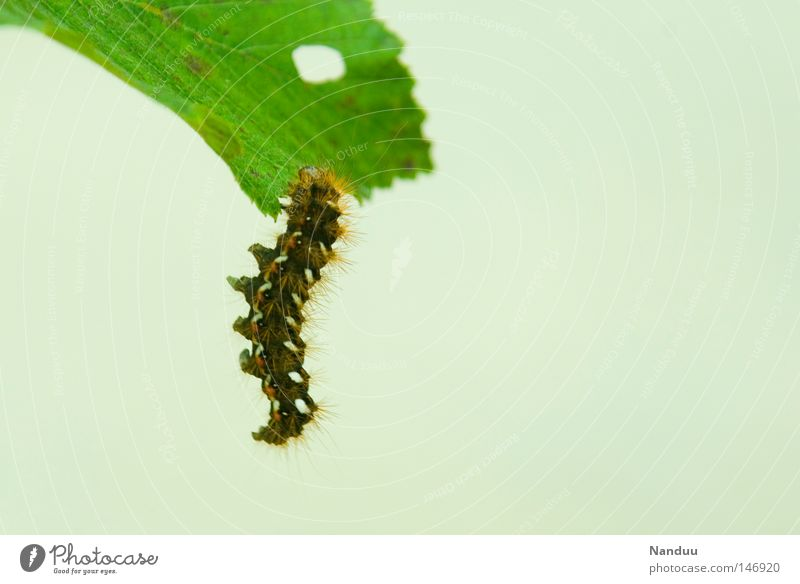 Leaf Animal Relaxation Autumn Insect Transience Butterfly Appetite Hang Caterpillar Incomplete
