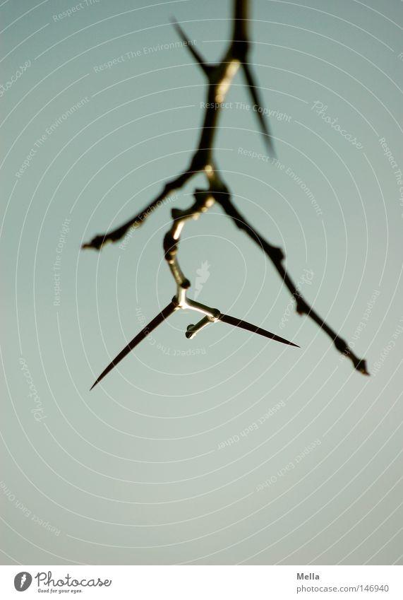 Sky Tree Blue Autumn Tall Branch Point Upward Twig Thorn Thorny Leafless Skyward