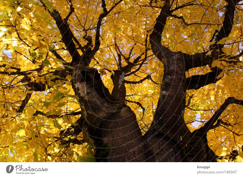 Nature Beautiful Old Tree Plant Leaf Yellow Autumn Bright Power Environment Gold Large Perspective Growth Exceptional