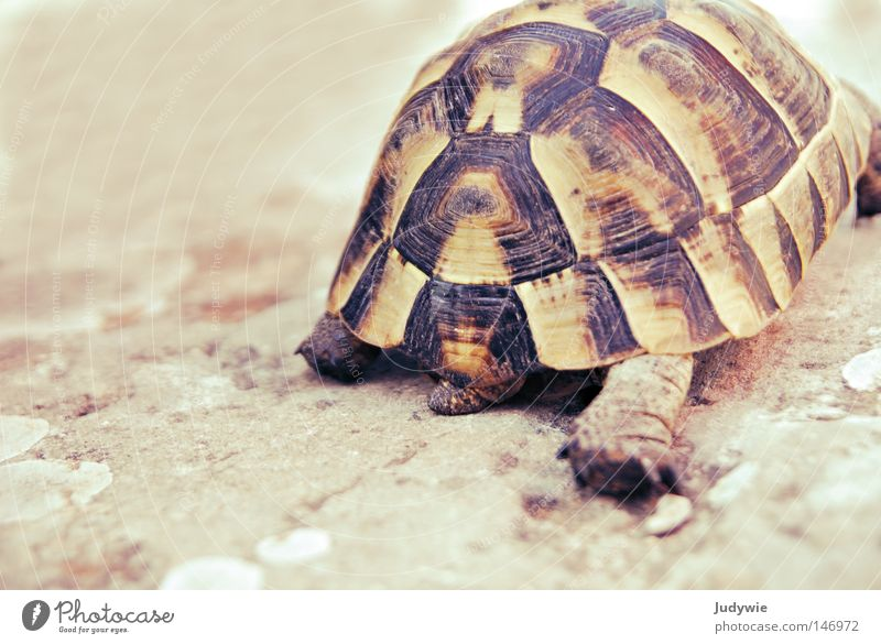 Slowly you reach your destination ... Turtle Armor-plated Shell Pattern Crawl Speed Walking Target Turkey Animal Wild animal Goodbye Going South Summer Old