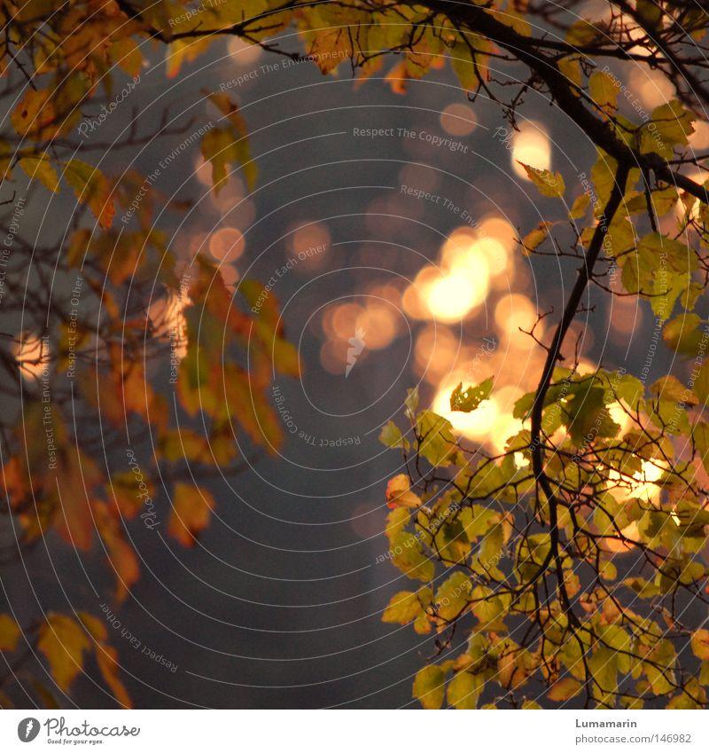 Beautiful Tree Sun Calm Leaf Autumn Warmth Lighting Glittering Gold Peace Physics Branch Transience Goodbye Twig