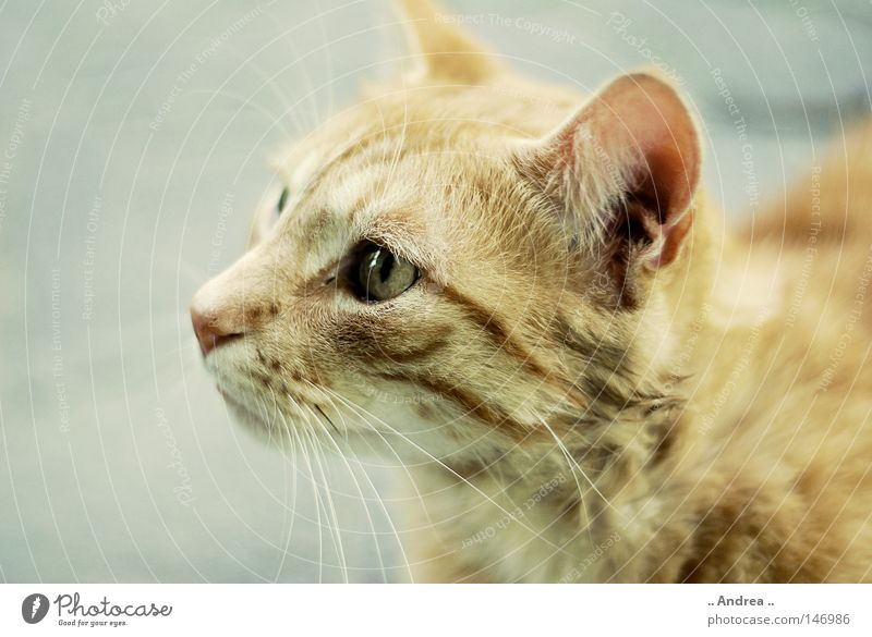 Red Tiger 14 Pelt Cat Friendliness Gray Whisker Mammal tigi Domestic cat mietzi putty whiskers mackerelled red sad Nose Eyes Silhouette Profile