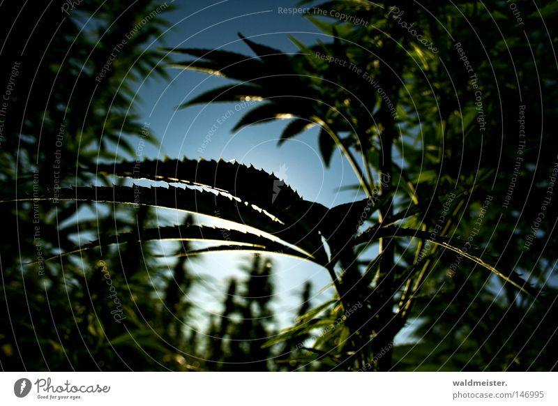 Sky Leaf Field Smoking Intoxicant Intoxication Addiction Illegal Plantation Cannabis Hemp Industrial Hemp