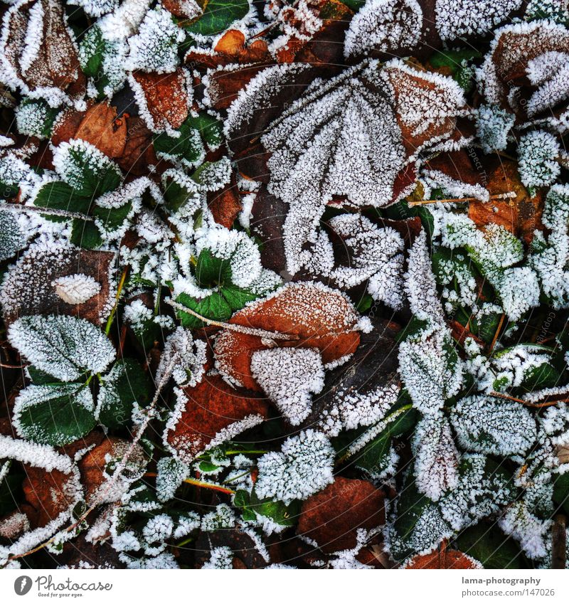 fall (frozen) leaves Winter Autumn Leaf Frost Ice Snow Freeze Cold Snow crystal Ice crystal Floor covering Woodground Tree Plant Seasons Pattern