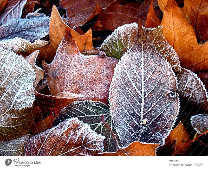hoarfrost Colour photo Exterior shot Detail Structures and shapes Deserted Winter Environment Nature Autumn Weather Ice Frost Leaf Park Cold Brown Yellow Gold