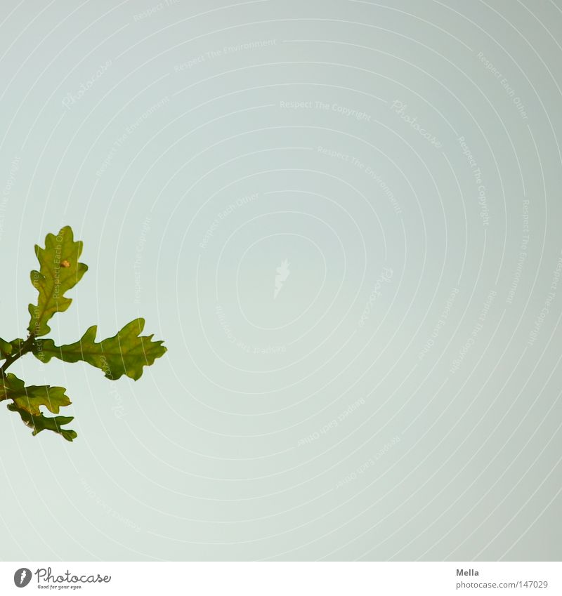Sky Tree Green Blue Summer Leaf Autumn Branch Twig Oak tree Minimalistic Free space Meddlesome