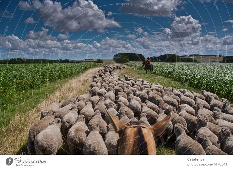 herd sheep Ride Shepherd Masculine Young woman Youth (Young adults) Family & Relations 1 Human being 13 - 18 years Environment Nature Landscape Plant Animal