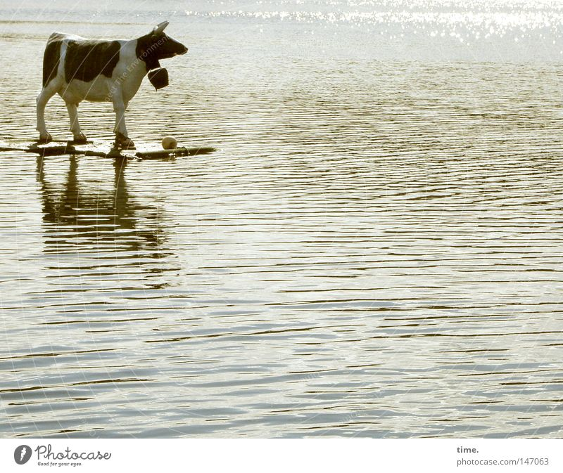 Water Lake Waves Bell Driving Stand Obscure Cow Cattle Surfing Whimsical Bizarre Climate change Animal Futurism Wonder