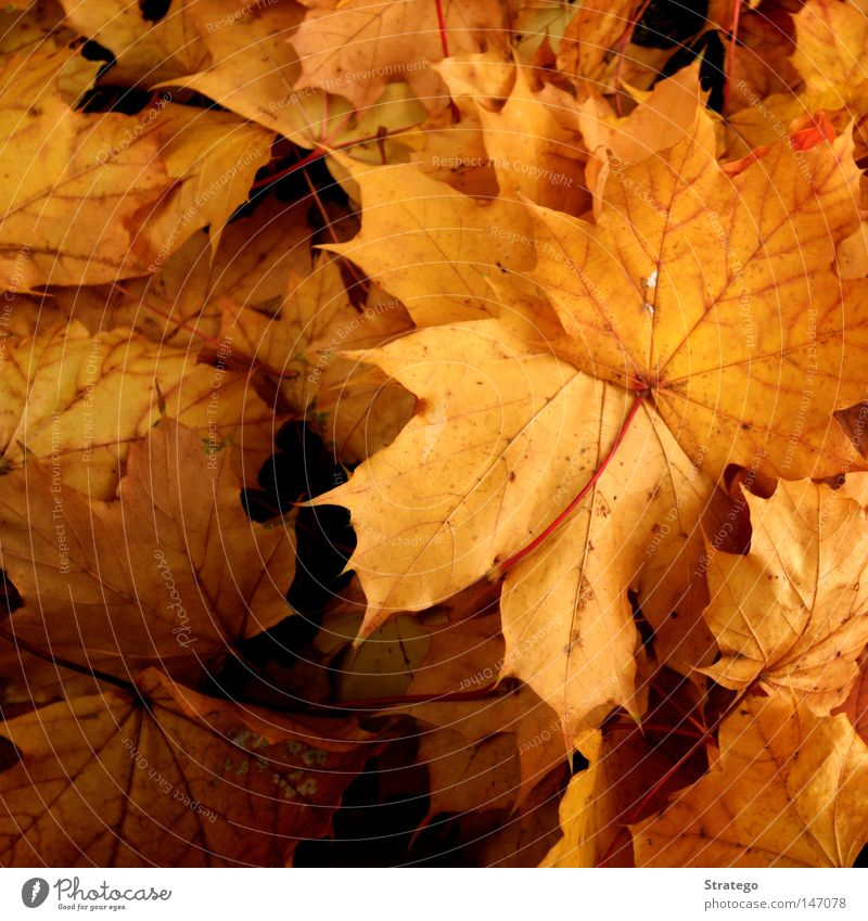 Nature Beautiful Tree Colour Leaf Landscape Yellow Dark Cold Autumn Fog Ground Grief To fall Seasons Distress