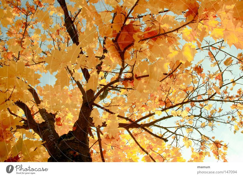 Sunny Autumn I Leaf Tree Norway maple Maple tree Yellow Colouring Physics Seasons Beautiful October Splendid Park Beautiful weather Gold Warmth Graffiti Nature
