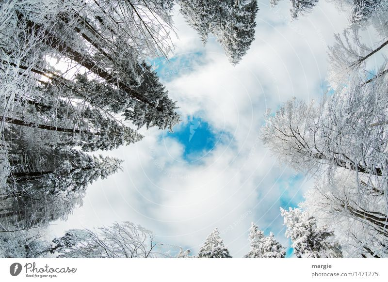 Merry Christmas! Wintry fir trees rise into a sky with clouds. Right in the middle is a blue hole Vacation & Travel Tourism Far-off places Winter Snow