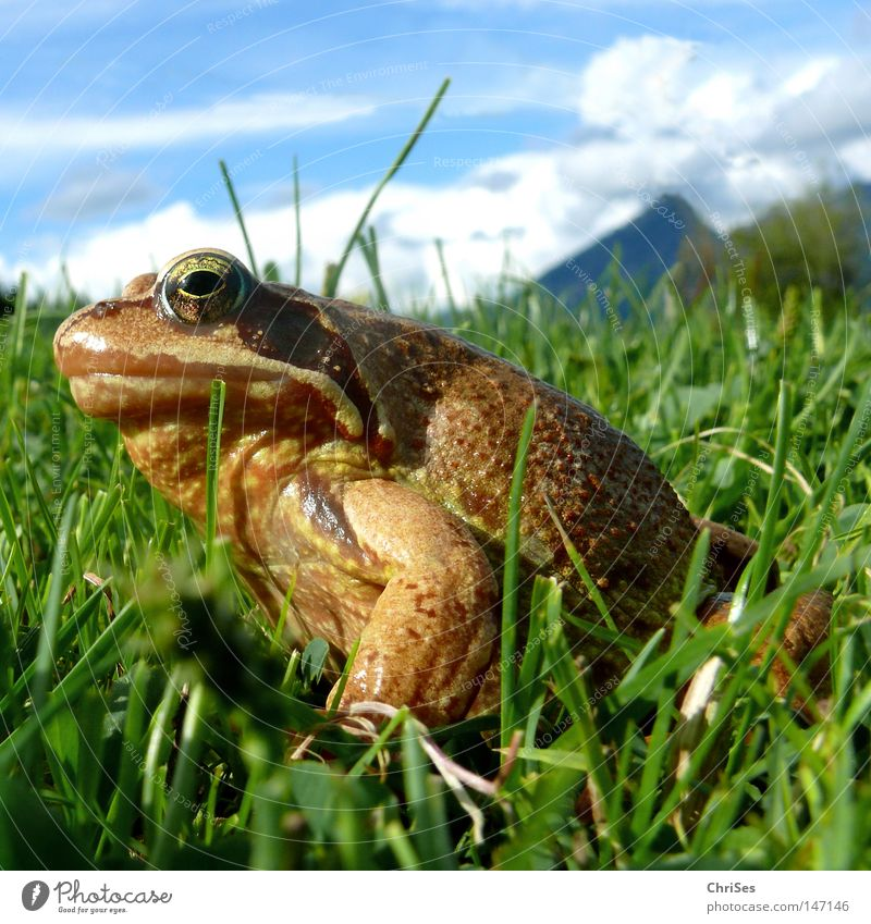 Grass frog : Who has the... Amphibian Frogs Rana Hop Jump Looking Fat Discover Brown Green Blue Sky Meadow Alps German Alps Austrian Alps Swiss Alps