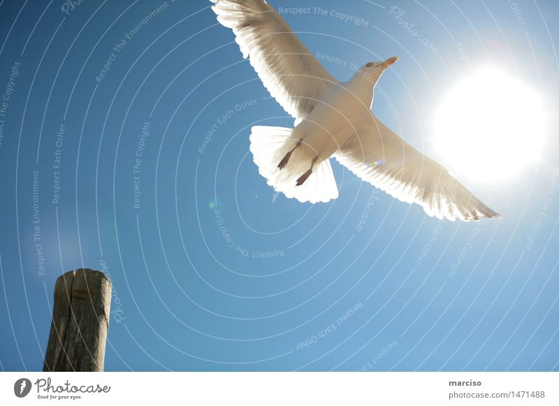 seagull Environment Nature Cloudless sky Sun Sunlight Summer Weather Beautiful weather Animal Bird Seagull 1 Relaxation Flying To enjoy Dream Elegant Infinity