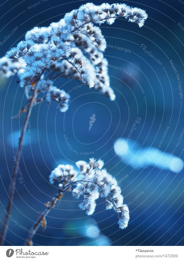 White Puschel Nature Plant Winter Beautiful weather Flower Garden Esthetic Natural Blue Colour photo Subdued colour Exterior shot Close-up Deserted Day Evening
