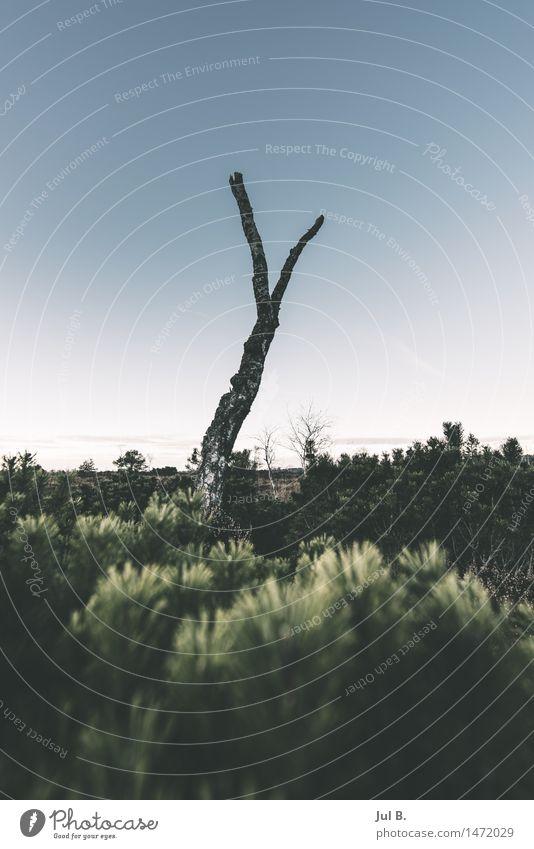 Dead Birch Environment Nature Landscape Air Cloudless sky Winter Weather Plant Tree Moss Authentic Unwavering Colour photo Exterior shot Evening Twilight Light