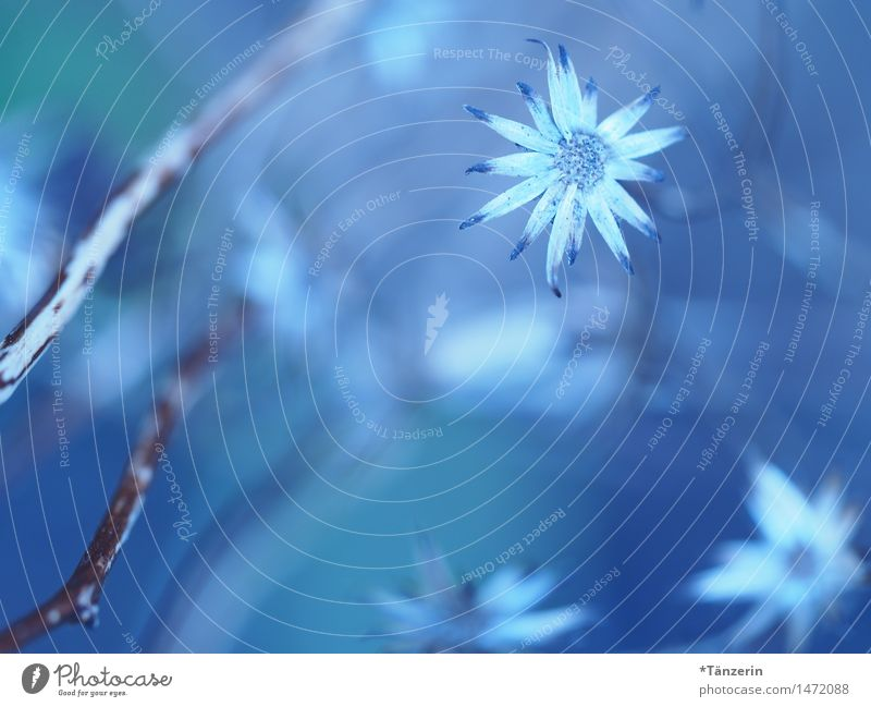 december blue Nature Plant Winter Beautiful weather Flower Blossom Garden Park Esthetic Fresh Natural Blue White Romance Calm Purity Colour photo Subdued colour